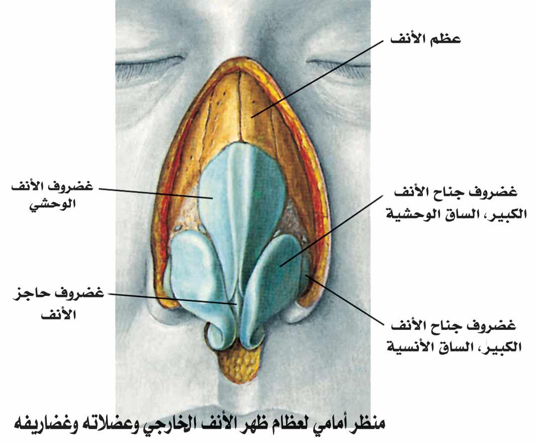 الأنف والشم العلوم الصحية بشري 120903192057DEwy.jpg