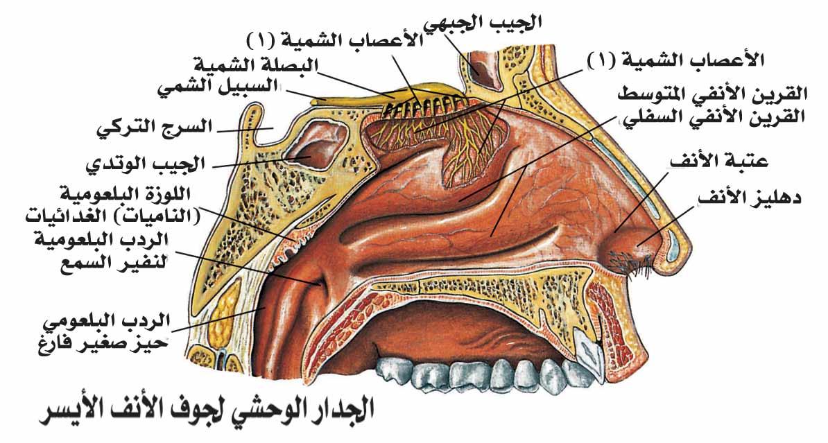الأنف والشم العلوم الصحية بشري 120903192057m8Ma.jpg