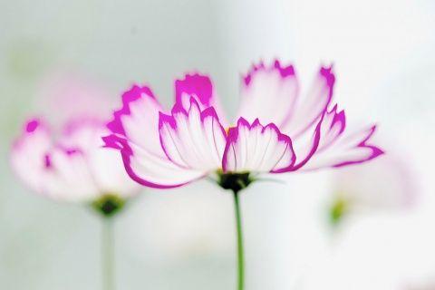 اشيك خلفيات بلاك بيري ورد 2013 ، صور ورد للبلاك بيري 2014، اجدد خلفيات زهور للبلاك2014 120910045213aucb.jpg