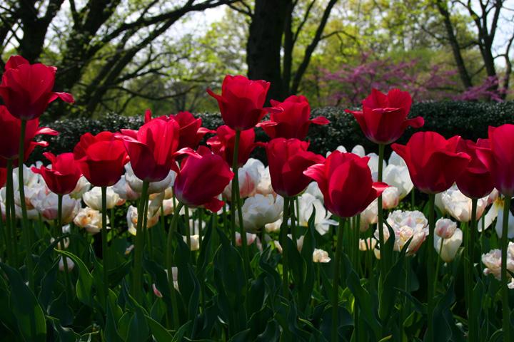 صور أزهار ملونة 2013 ، صور ورد روعة 2014 ، اجمد صور زهور 130307230824KRw1.jpg