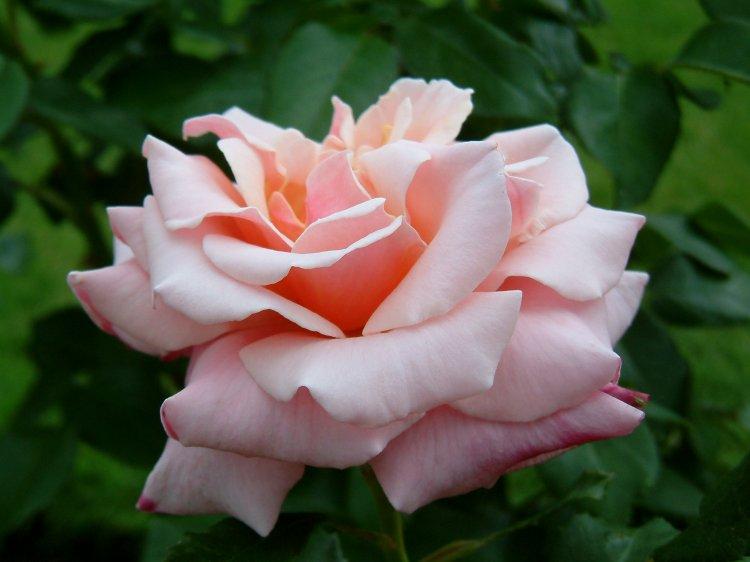 صور أزهار ملونة 2013 ، صور ورد روعة 2014 ، اجمد صور زهور 130307230824Q0vw.jpg
