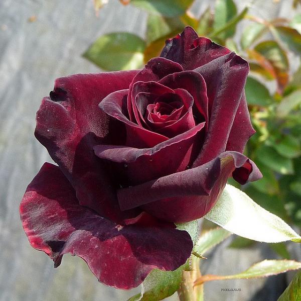 صور زهور متفتحة 2013 1303072310201Xcx.jpg