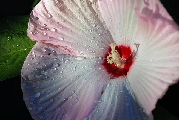 صور زهور متفتحة 2013 130307231020JT53.jpg