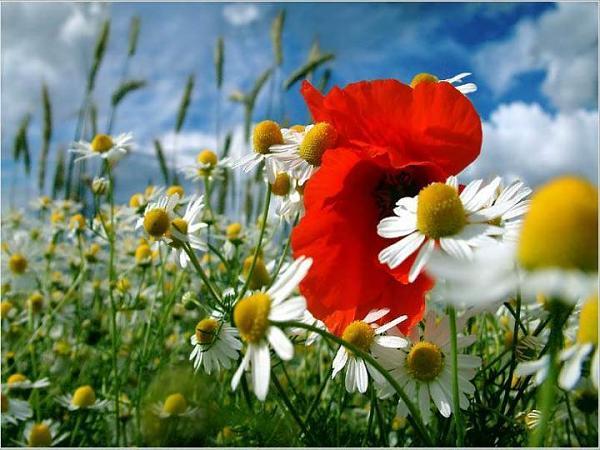 صور زهور متفتحة 2013 130307231020bFuX.jpg