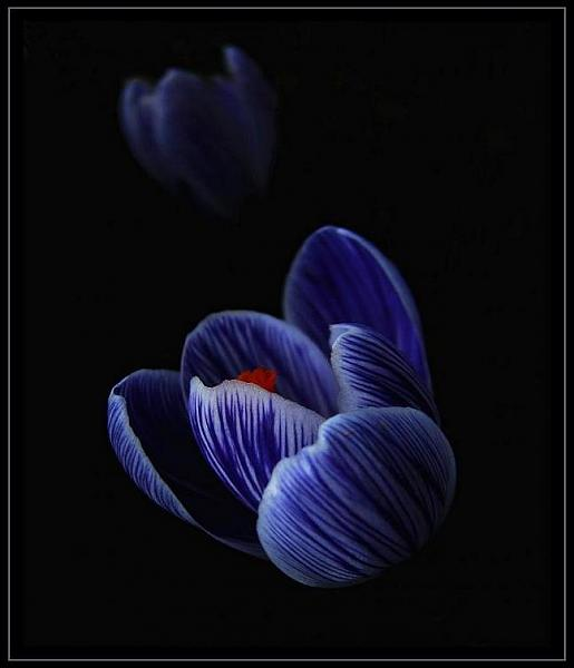 صور زهور متفتحة 2013 130307231020zPCi.jpg