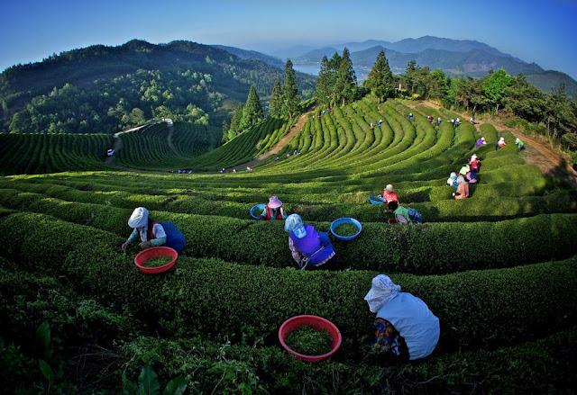 مزارع الشاي الأخضر في كوريا 130308163113NmXx.jpg